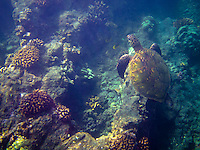 A green sea turtle (or honu) feeding around the reefs at One Palm, Big Island.