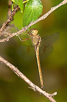 389300005 a wild evening skimmer dragonfly tholymis citrina perches on a small branch at santa ana national wildlife refuge rio grande valley texas united states