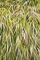 Hakonechloa macra 'Alboaureola' ornamental grass in autumn
