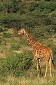Reticulated Giraffe (Giraffa camelopardalis reticulata), Kenya.