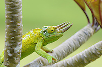 Jackson Chameleon (Chamaeleo jacksonii)  Originally from east Africa, Jackson Chameleons now grow wild in Hawaii.  In 1972 several were introduced into the wild and the climate very much agreed with them.  They now infest at least five islands and are considered a threat to native insects.