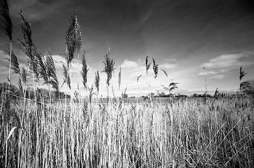 Water Reeds, Thorndon Woodland, Suffolk by Paul Cooklin