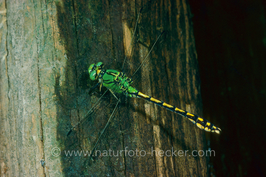 Grüne Flussjungfer, Grüne Flußjungfer, Grüne Keiljungfer, Ophiogomphus cecilia, Ophiogomphus serpentinus, Green Snaketail, Gomphidae, Flussjungfern, Flußjungfern