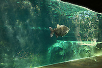 Pacu or Paku (Myleus) fish, a South American fish related to the piranha, swimming underwater in the manatee tank in the Great Glasshouse in the Zone Guyane of the new Parc Zoologique de Paris or Zoo de Vincennes, (Zoological Gardens of Paris or Vincennes Zoo), which reopened April 2014, part of the Musee National d'Histoire Naturelle (National Museum of Natural History), 12th arrondissement, Paris, France. Picture by Manuel Cohen