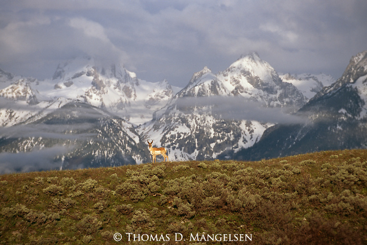 A pronghorn antelope stands on a hill in front of mountains.