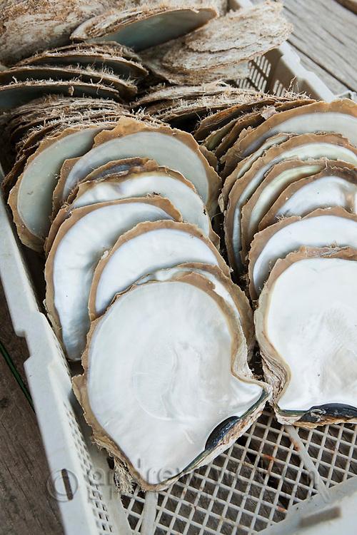 Pearl oyster shells harvested at Kazu Pearls.  Friday Island, Torres Strait Islands, Queensland, Australia