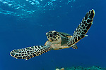 Hawksbill turtle (Eretmochelys imbricata) swimming through a reef.