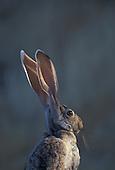 """Antelope Jackrabbit (Lepus alleni) Catalina State Park, Tucson, Arizona""..."