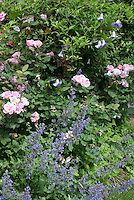 Roses mixed Rosa with Catmint Nepeta, clematis climbing the rosebush shrub, blue and pink color theme