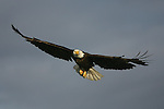 A bald eagle soars above the Copper River Delta on the north gulf coast of Alaska, in search of food.