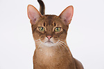 Abyssinian Cat, 9 months old, Male, Chocolate colour - Head shot showing 'wedge' head