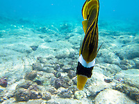 A frontal and dorsal view of a yellow raccoon butterflyfish off of Kahalu'u Beach Park, Big Island.