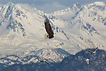 A bald eagle flies near gulls in Homer, Alaska.