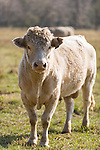Brazoria County, Damon, Texas; a Charolais bull in the pasture standing in afternoon sunlight