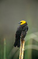 509009009 wild male yellow-headed blackbird xanthocephalus xanthocephalus perched on a dead stick in a small pond in yellowstone national park wyoming