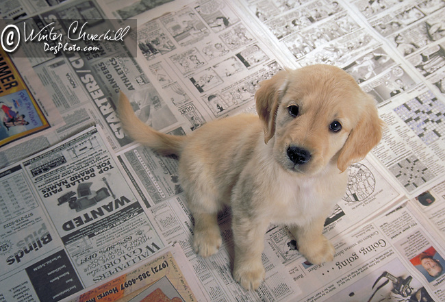 Golden Retriever<br /> <br /> <br /> <br />  Shopping cart has 3 Tabs:<br /> <br /> 1) Rights-Managed downloads for Commercial Use<br /> <br /> 2) Print sizes from wallet to 20x30<br /> <br /> 3) Merchandise items like T-shirts and refrigerator magnets