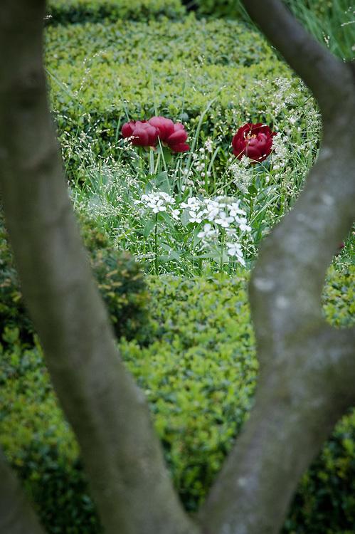 Paeonia 'Buckeye Belle', The Telegraph Garden,  designed by Christopher Bradley-Hole, Gold medal winner, RHS Chelsea Flower Show 2013.