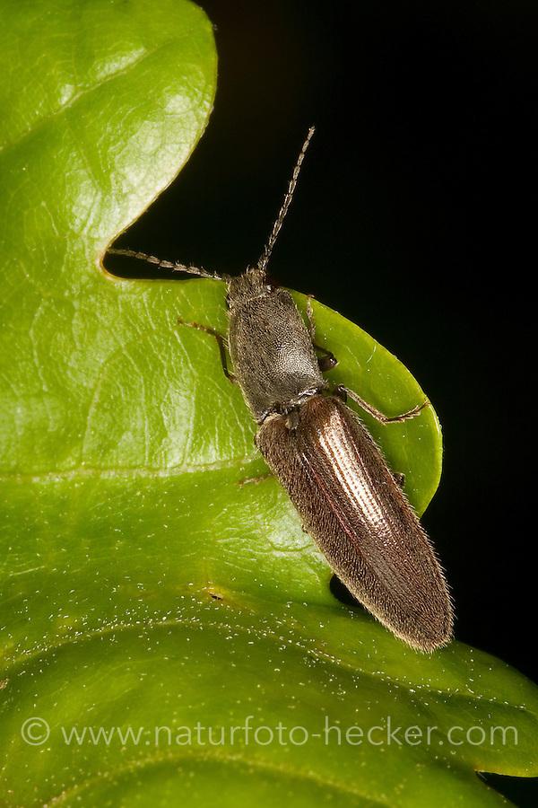 Rotbauchiger Laubschnellkäfer, Laub-Schnellkäfer, Gewöhnlicher Schnellkäfer, Athous haemorrhoidalis, Athous obscurus, garden click beetle, Elateridae