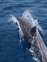 One lonely spinner dolphin braking the surface with his dorsal fin.Maui Hawaii.<br /> Delfines jugando y saltando en las aguas de Maui,Hawaii.