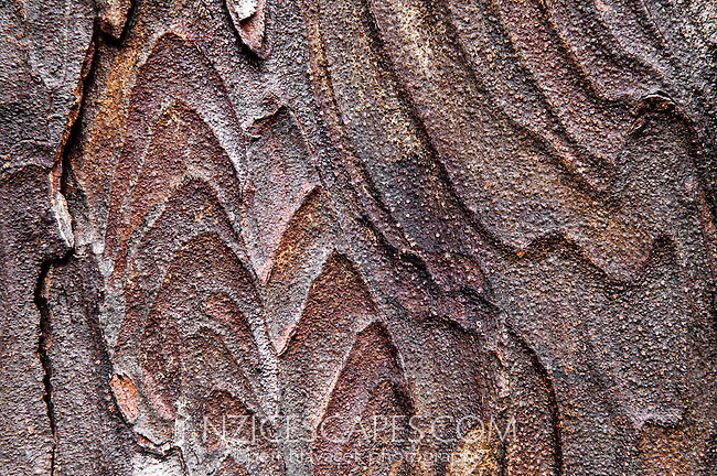 Close up of distinctive pattern of Rimu Tree bark, Westland National Park, West Coast, New Zealand