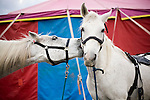 Show horses outside the tent at a small town circus in Arkansas.