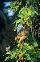 511760036a wild plain chachalaca ortalis vetula perches in a tree and feeds on the berries in tamaulipas state mexico