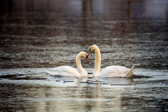 January 3, 2012; Swans nuzzle in the frozen water in St. Mary's Lake. Photo by Barbara Johnston/University of Notre Dame.