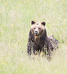 A grizzly bear walks through a meadow in Yellowstone.