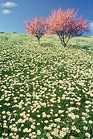Two blooming crabapple trees heavy with flowers stand together in an open meadow on top of a hill covered with oxeye daisies