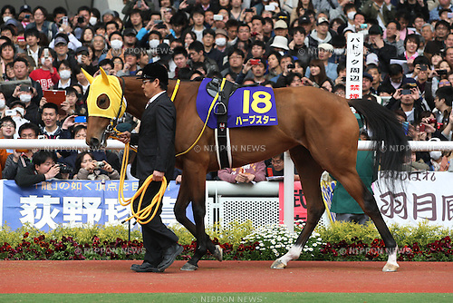 Harp Star,<br /> APRIL 13, 2014 - Horse Racing :<br /> Harp Star is led through the paddock before the Oka Sho (Japanese 1000 Guineas) at Hanshin Racecourse in Hyogo, Japan. (Photo by Eiichi Yamane/AFLO)