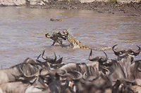 Wildebeest under attack by crocodiles crossing the Mara River during the annual migration in the Masai Mara, Kenya, Africa (photo by Wildlife Photographer Matt Considine)