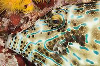 Scribbled Filefish (Photo by Travel Photographer Matt Considine)