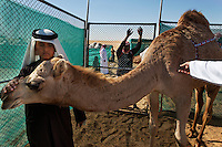 This is the Qatar Sheiks compound where they have many prize winning camels in their compound, some worth up to 1 million USD.  Many worth 1 million D.  They trucked their camels to get to the camel contest because it was too far and the had to clear customs for the Camel Beauty Contest.