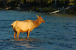 Female Elk crossing Madison River at Sunset, Yellowstone National Park, Wyoming