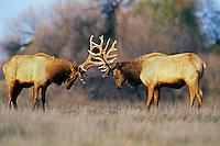 ME1006  Tule Elk bulls sparring though not to seriously--dominance behavior.  (Cervus elephus nannodes).  San Luis National Wildlife Refuge, CA.  Winter.