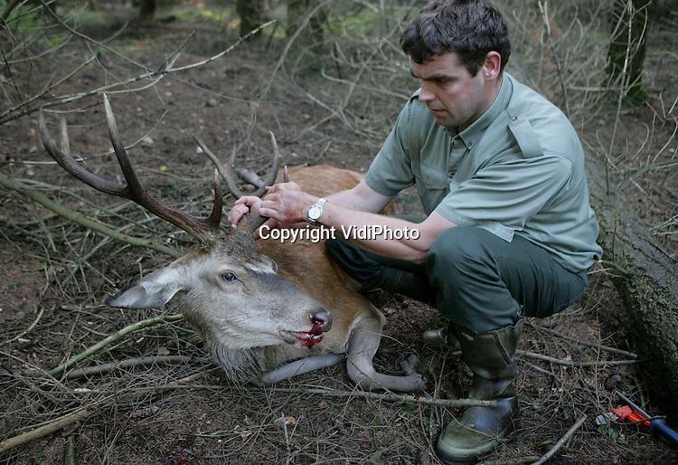 Foto: VidiPhoto..DE STEEG - Jagers op de Veluwe hebben dinsdag de eerste edelherten geschoten voor het afschotplan voor dit jaar. In totaal moeten er tussen 1 augustus en eind januari 2010, 1268 herten geschoten worden om schade aan de natuur en gewassen van agrariërs te voorkomen. De Veluwe kan volgens natuurbeheerders maar een wilddruk van 1537 herten aan. Ieder jaar blijkt dat de doelstellingen niet gehaald worden omdat alleen zieke en ongezonde dieren mogen worden geschoten. Dat betekent lang wachten en zoeken.