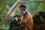 Black-handed spider monkey, Panama