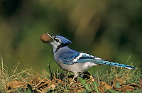 Blue Jay, Cyanocitta cristata, adult with Pecan, San Antonio, Texas, USA, Oktober 2003