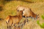 Elk Juvenile and Mother at Sunrise, Madison River Meadow, Yellowstone National Park, Wyoming