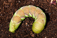Rustic Sphinx Moth Caterpillar, Manduca rustica, burying itself underground to pupate under its host tree.