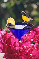 Bananaquit on a cocktail glass<br /> St. John<br /> U.S. Virgin Islands
