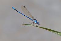 338430015 a wild male california dancer argia argioides perches on a reed along piru creek near frenchmans flats los angeles county california united states