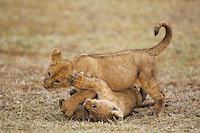 African Lion (Panthera leo), cubs playing, Serengeti National Park, Tanzania, Africa