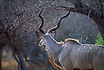 During the heat of the day in Mala Mala, South Africa, a greater kudu rests in the shade.