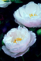 Chinese peony Paeonia lactiflora Miss America herbaceous type of peonies in white and suffused pink