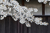 Clusters of fresh white cherry blossom herald the arrival of spring