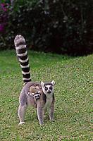 Ring-tailed Lemur (Lemur catta) Madagascar.