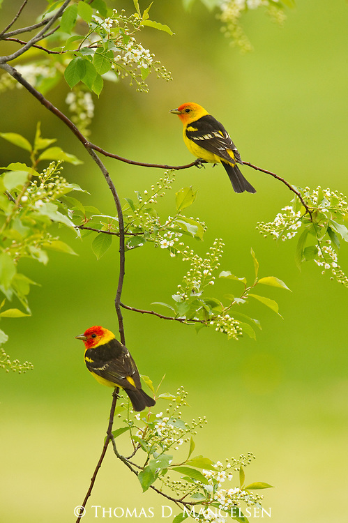 Two western tanagers perch on the branch of a chokecherry tree in Jackson Hole, Wyoming.