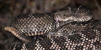 Santa Catalina Rattlesnake (Crotalus catalinensis), native to Santa Catalina Island, Mexico, captive.
