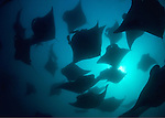 Mantas (Manta birostis) predictably found Hanifaru Bay; wehn the tide, wind and current are align, the lagoon is saturated with planktons - manta gather in the hundreds to feed.